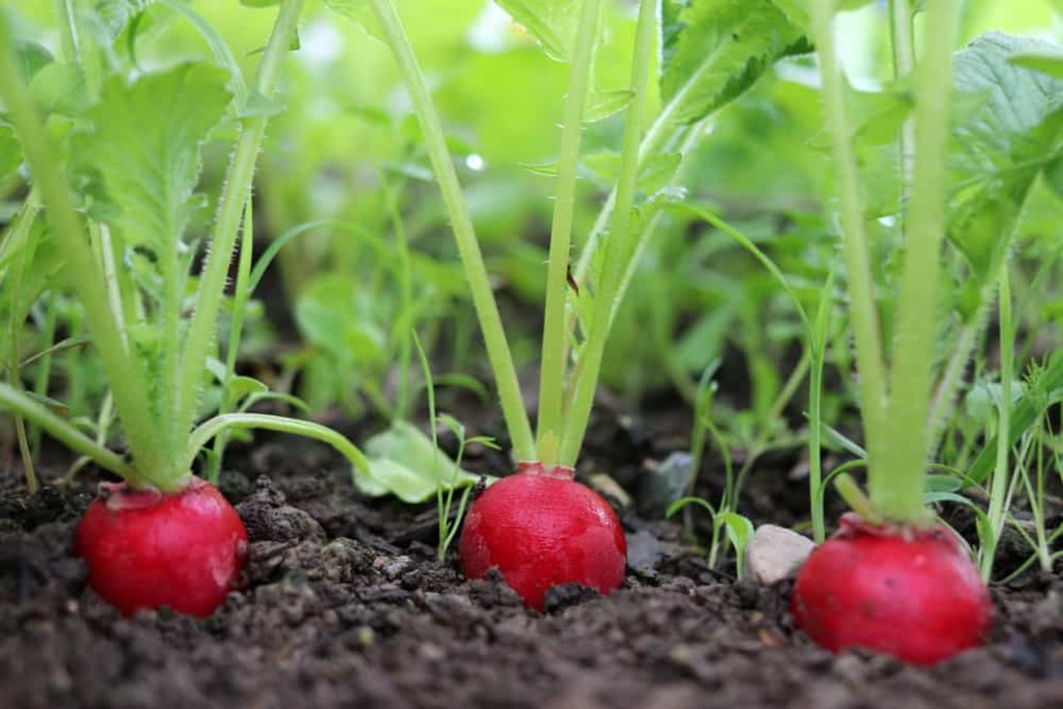 Radishes germinate quickly and are ready to harvest in a matter of weeks.