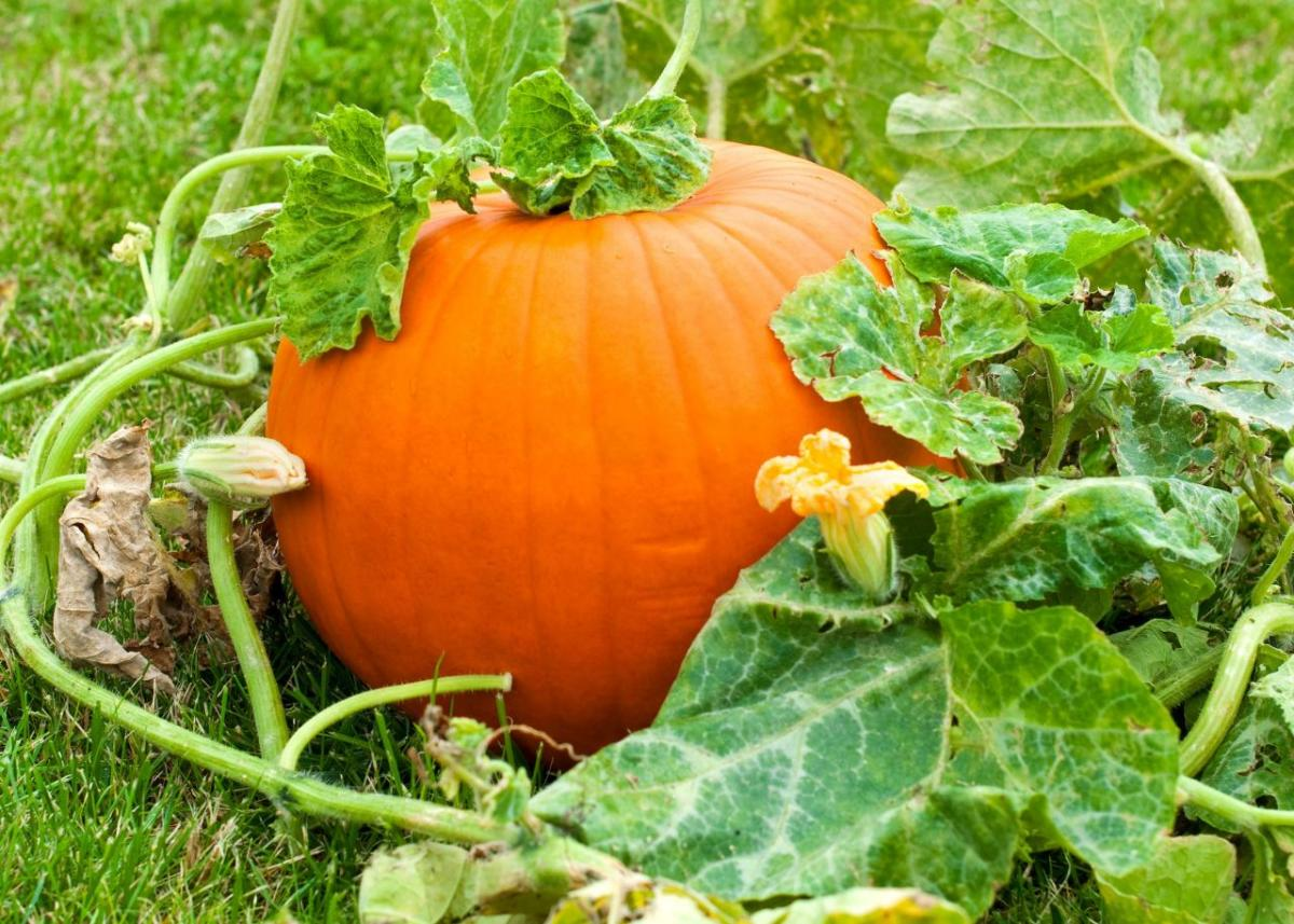 Imagine growing your own Jack'o'lantern! How cool is that?