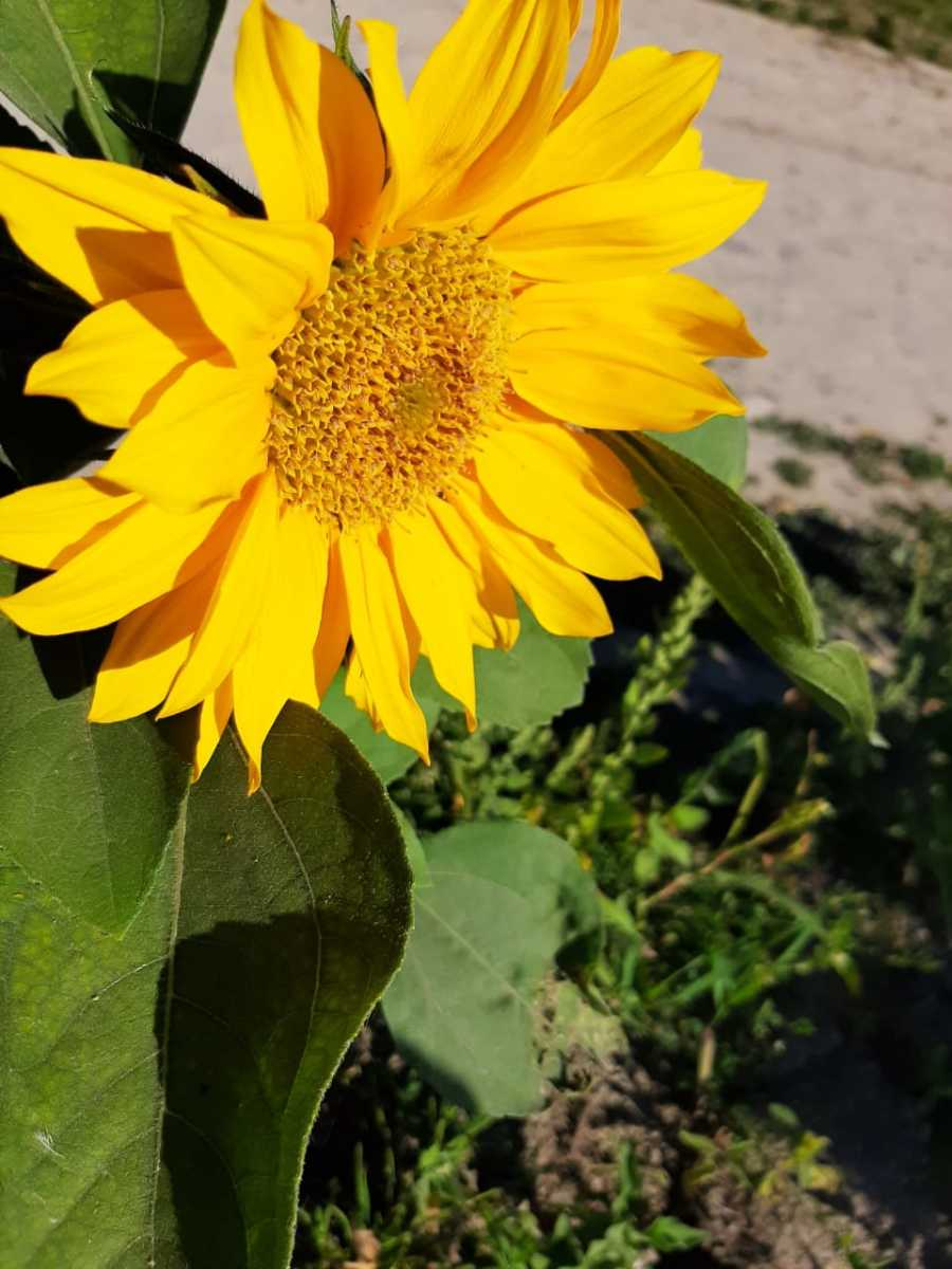 Even though these aren't veggies, sunflowers are a great addition to your child's garden since they are very beautiful and require little care. There's also a possibility that they'll grow to be taller than your kid by the end of the summer!