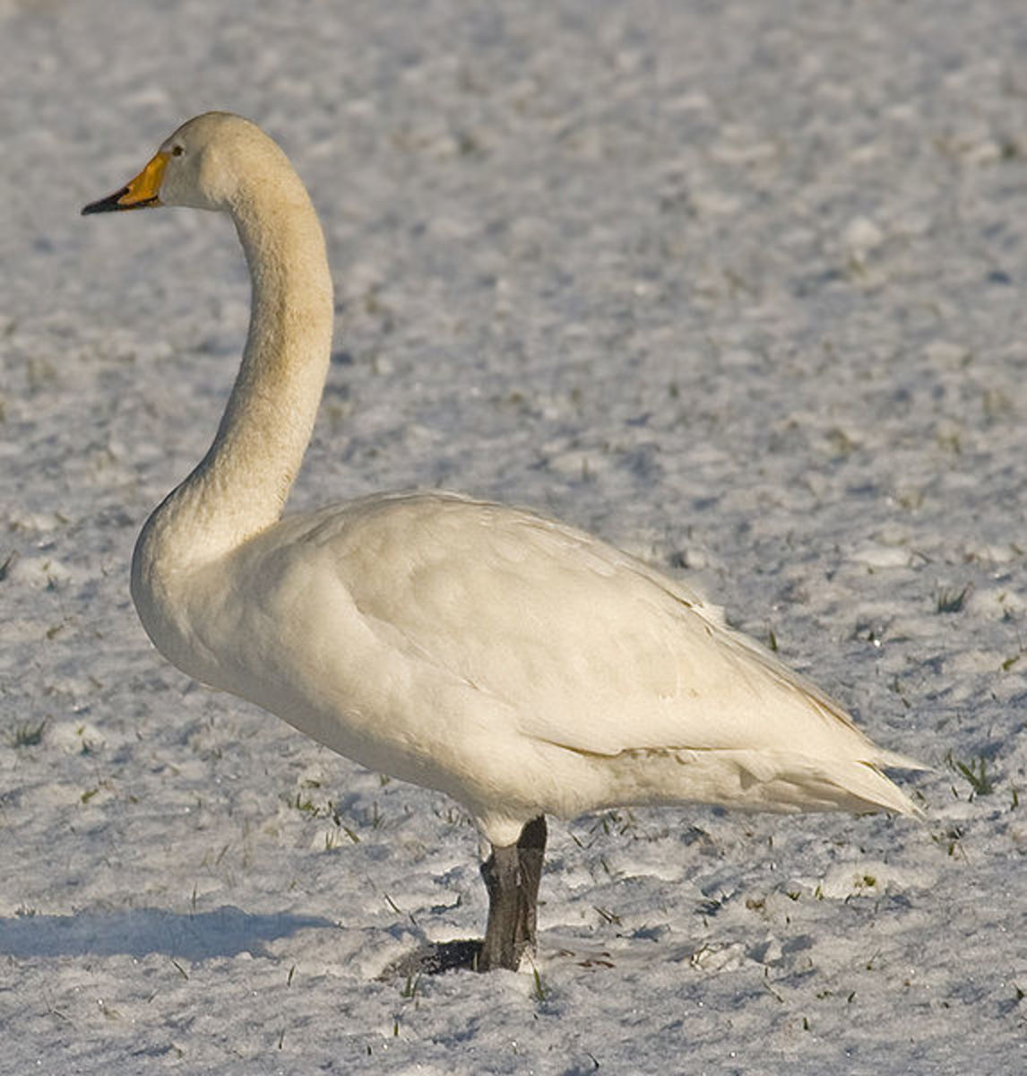 The adult whooper swan has a triangular head and carries its neck straight. The yellow patch on the bill is more angular than that on the Bewick's swan.