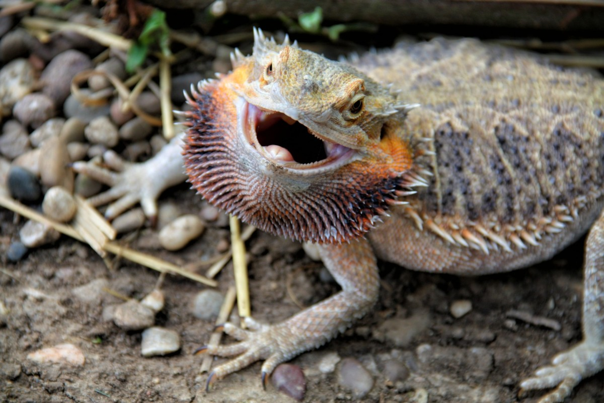 A bearded dragon puffing its beard out.