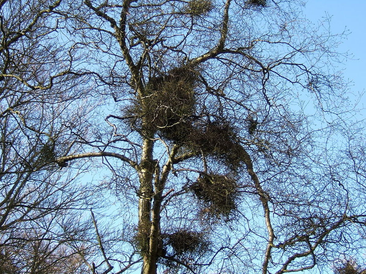 Some rust fungi can cause witches brooms in trees.