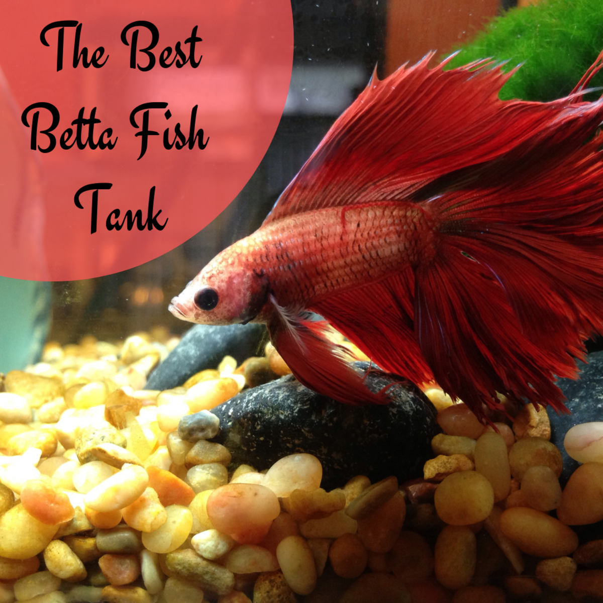 Discover the recommended setup for your betta fish tank to ensure that your fish lead long, happy lives.