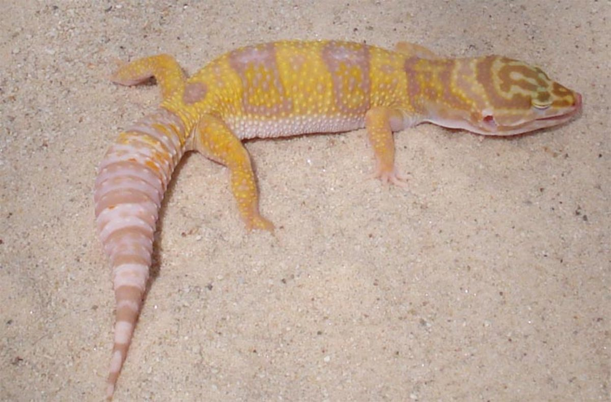My Leopard Gecko Quit Eating | HubPages