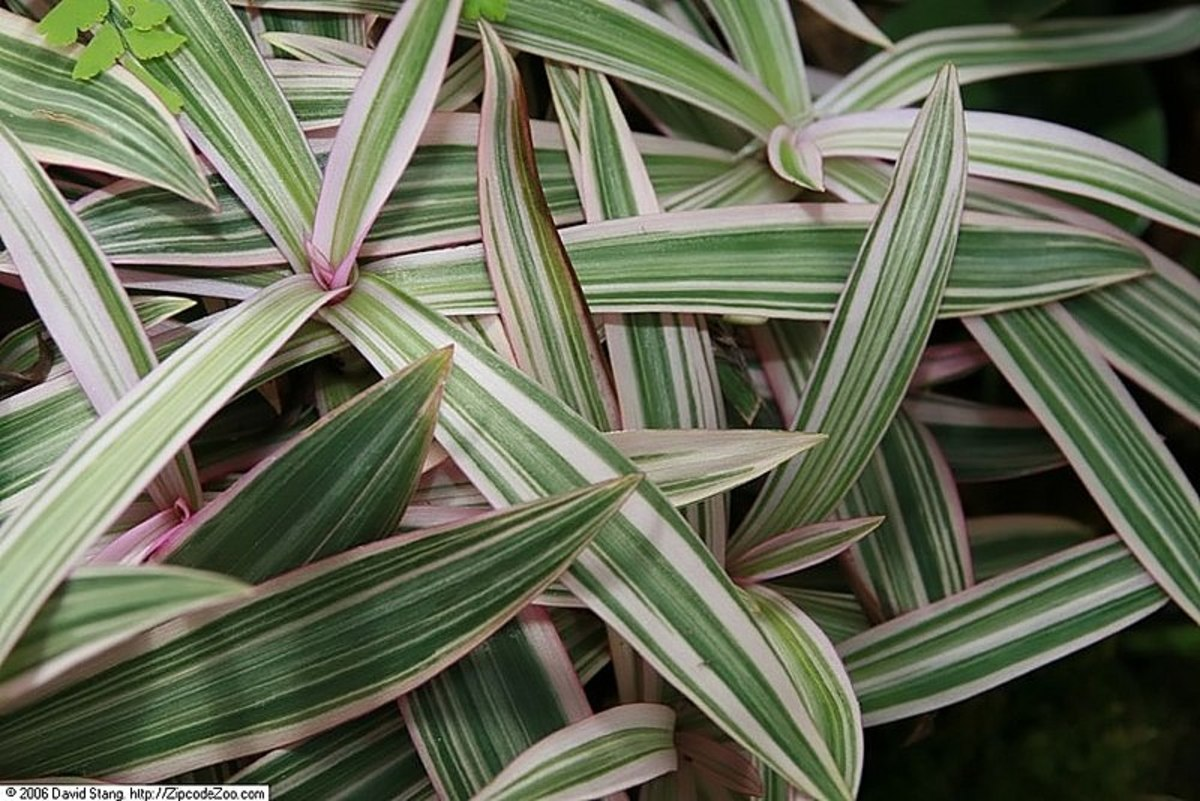 "The cultivar ""Variegata"" has leaves with white and pink stripes."