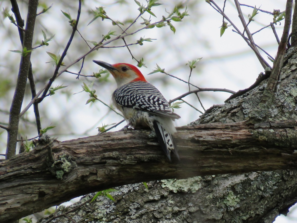 The Red-bellied Woodpecker is one of seven woodpeckers that make their homes in Pennsylvania and the northeast.