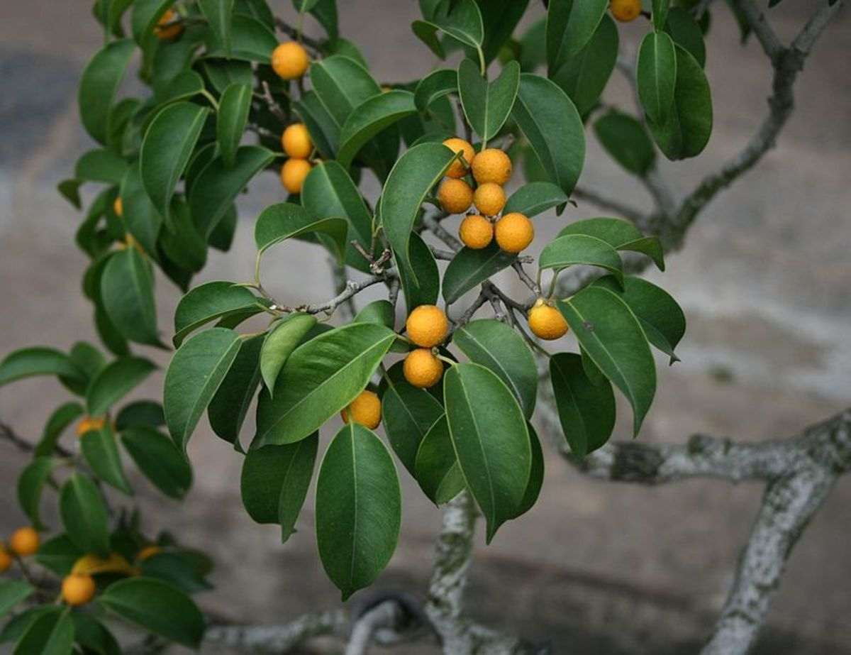Fruit on a weeping fig