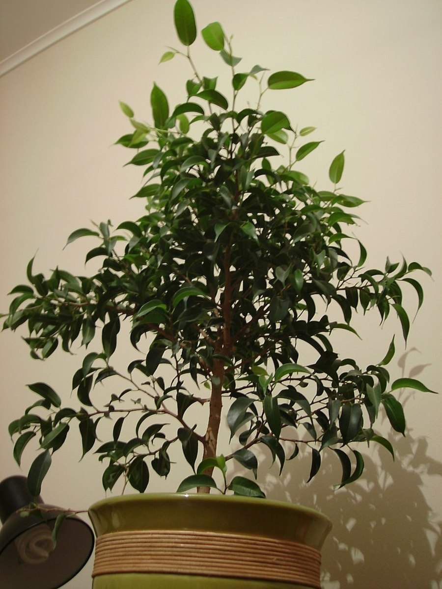 How to Grow a Ficus Tree (Weeping Fig) as a Houseplant