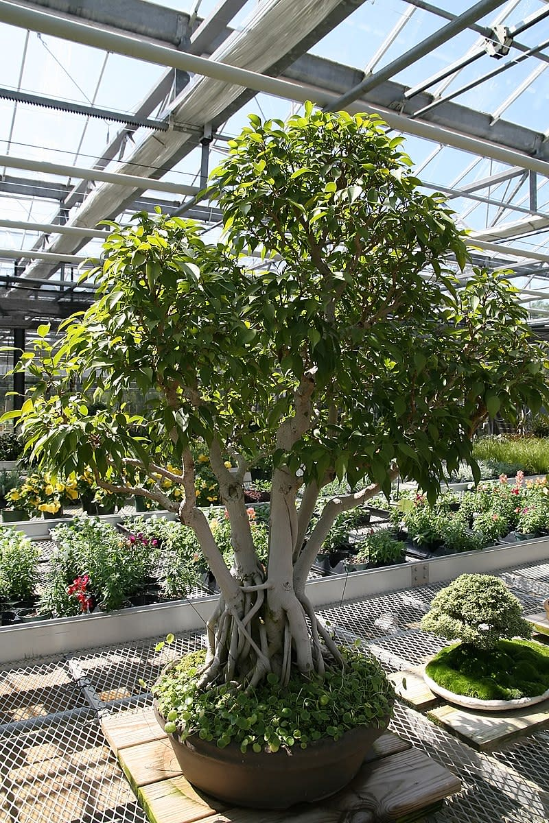 Weeping fig tree trained as a bonsai