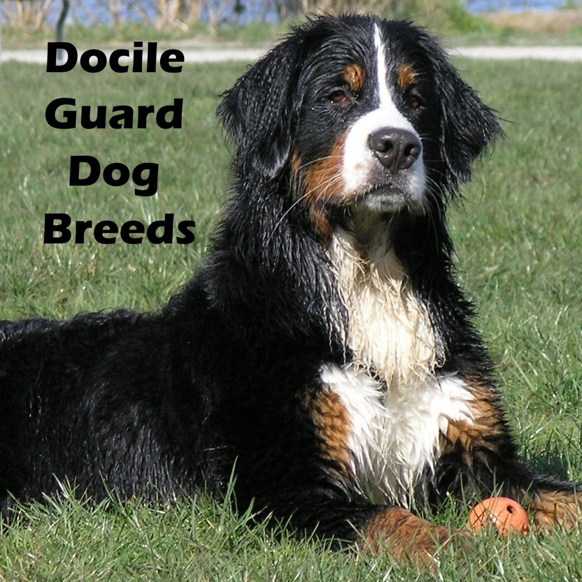 The most docile guard dog breeds.