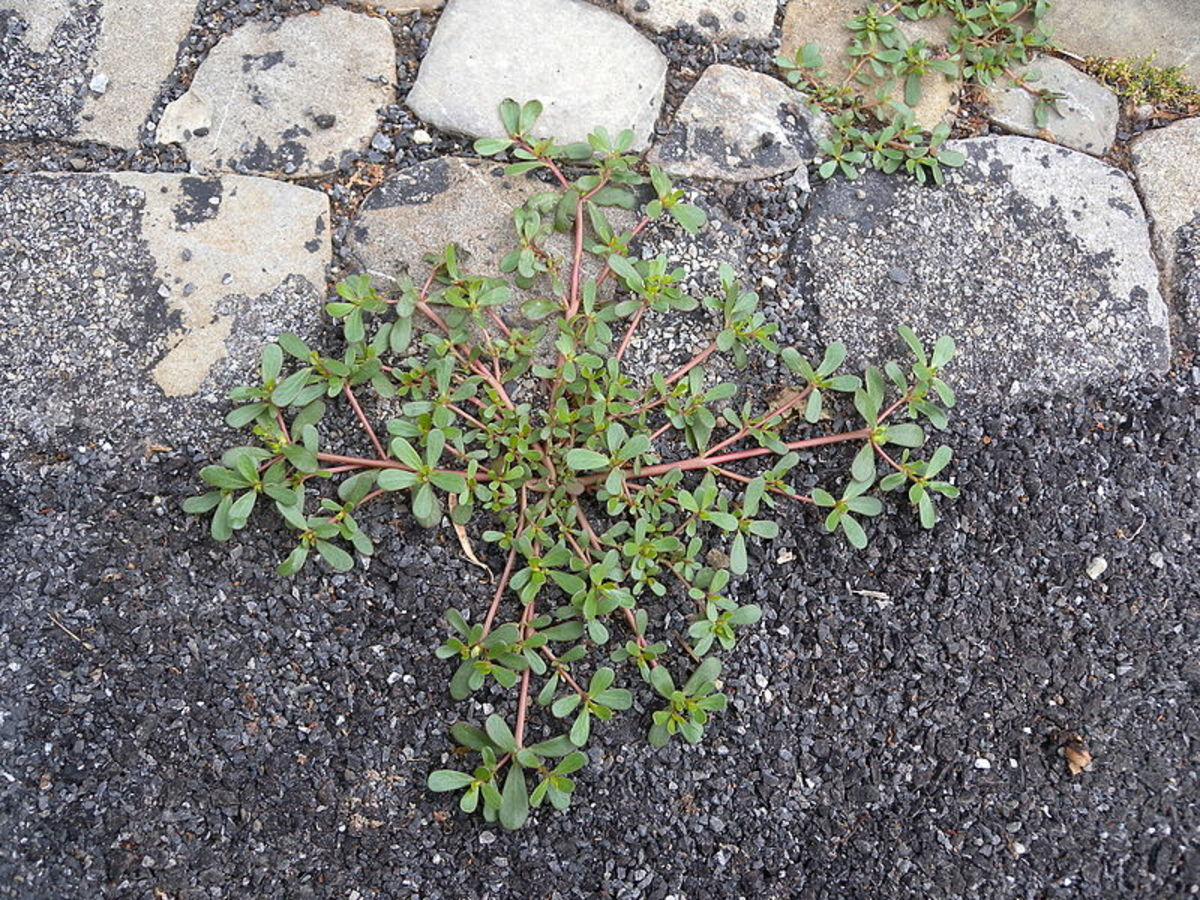 How to Grow Purslane, an Edible Weed
