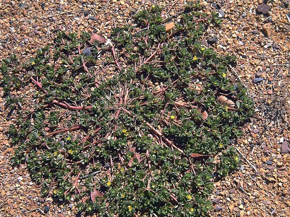 Purslane can form mats up to 16 inches wide.