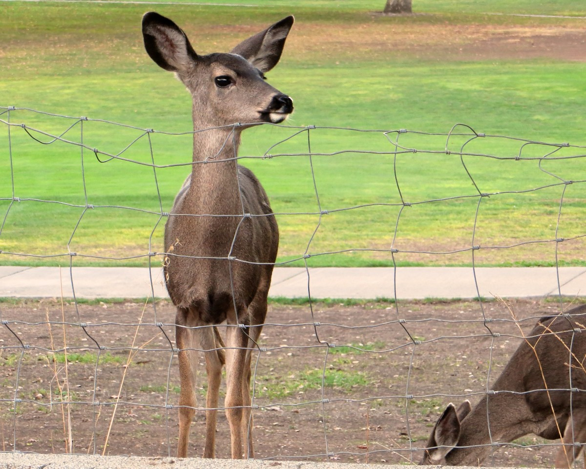 This deer looks like he's determined to jump the fence.