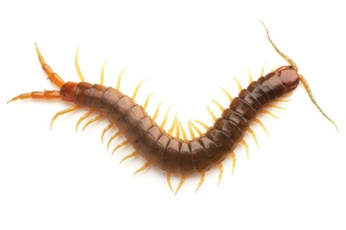 Centipede.  Photo by Cre8tive Studios at Dreamstime