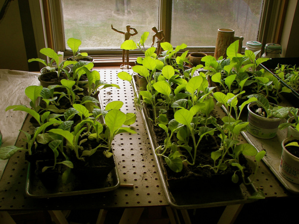 Tobacco seedlings ready for transplanting outside in the sun.