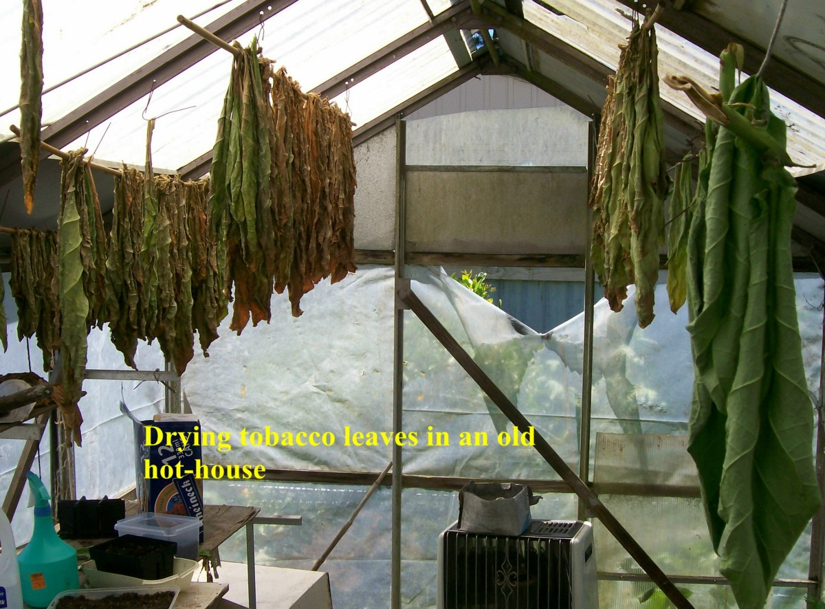 Drying And Curing ~ Tobacco growing and curing at home hubpages