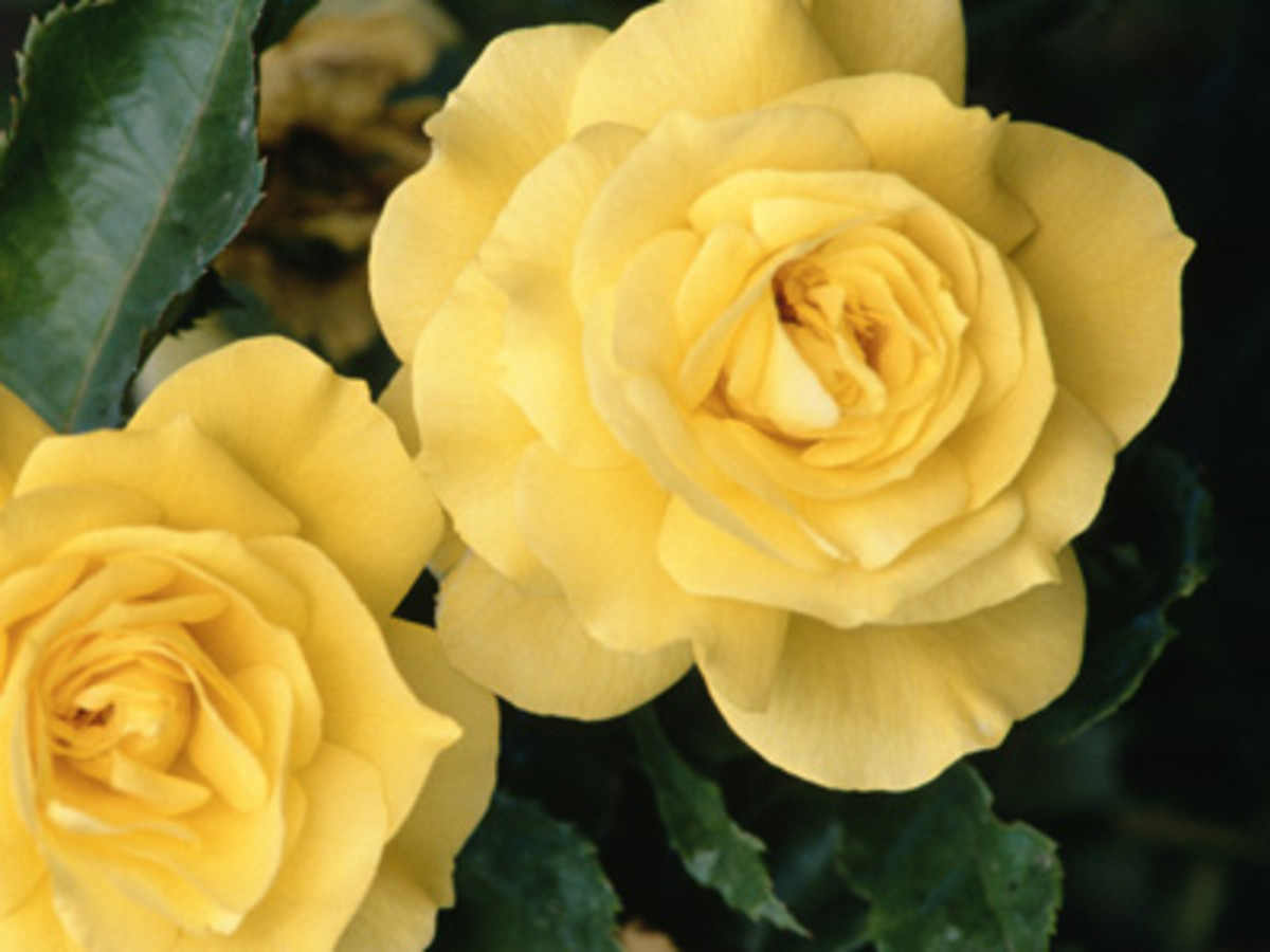 Yellow roses mean joy and gladness