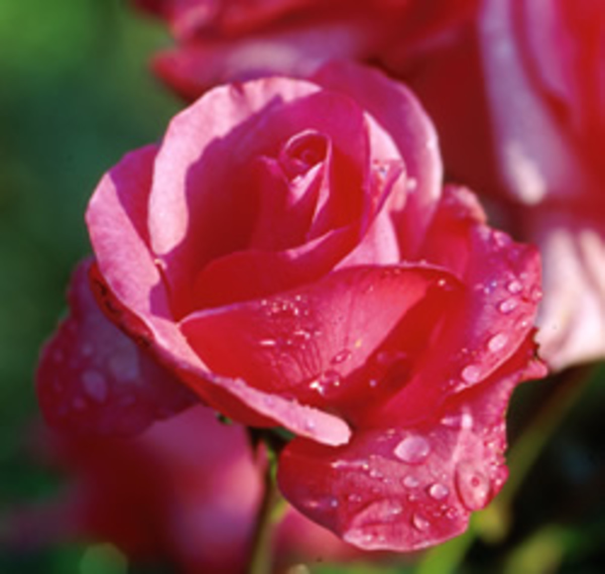 Grandma's Blessing: Gorgeous hybrid tea rose