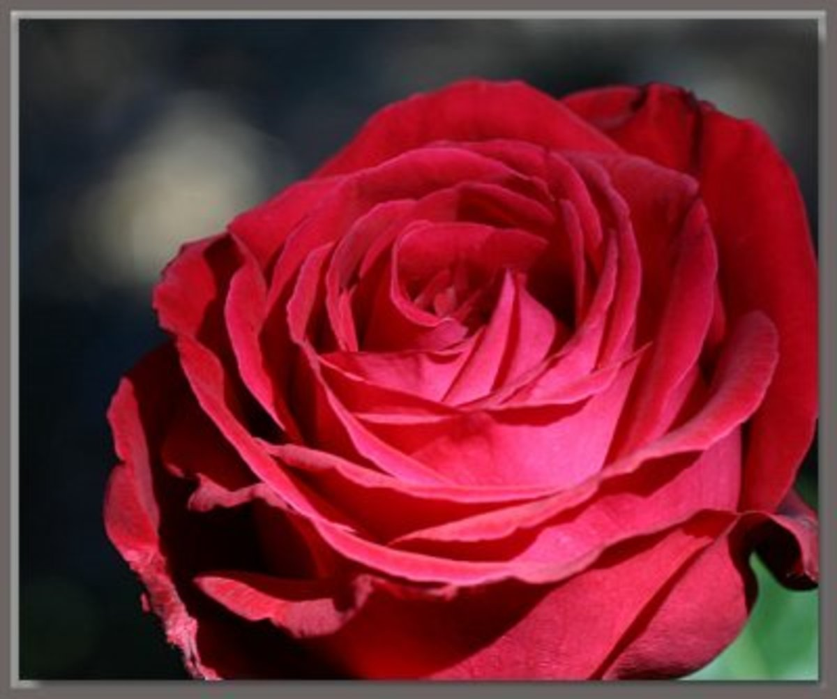 Alec's Red: Deep colored beautiful rose