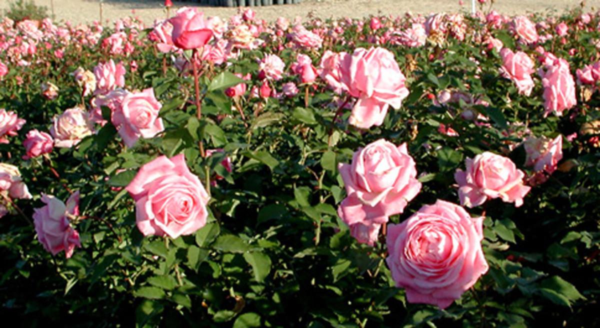 Belinda's Dream Roses