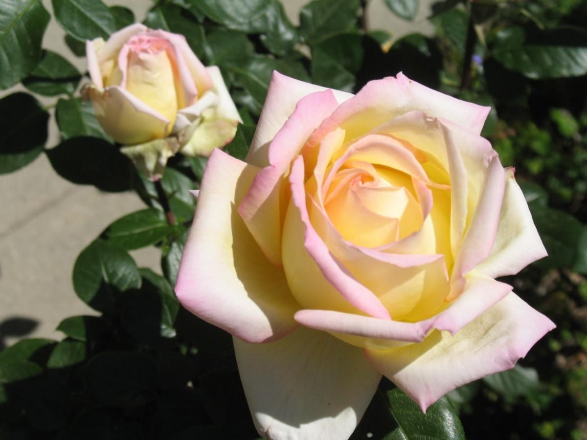 White Rose Bushes Types