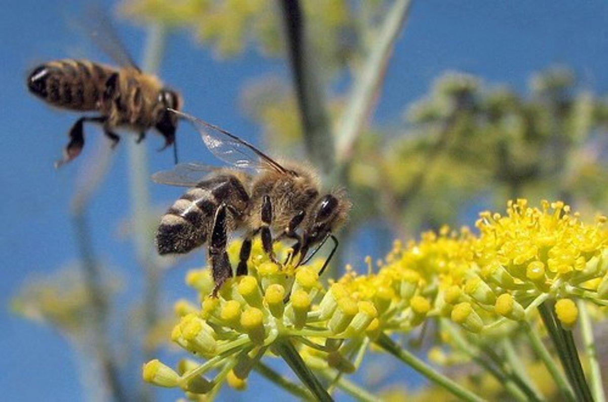 Honeybees, by wolfpix