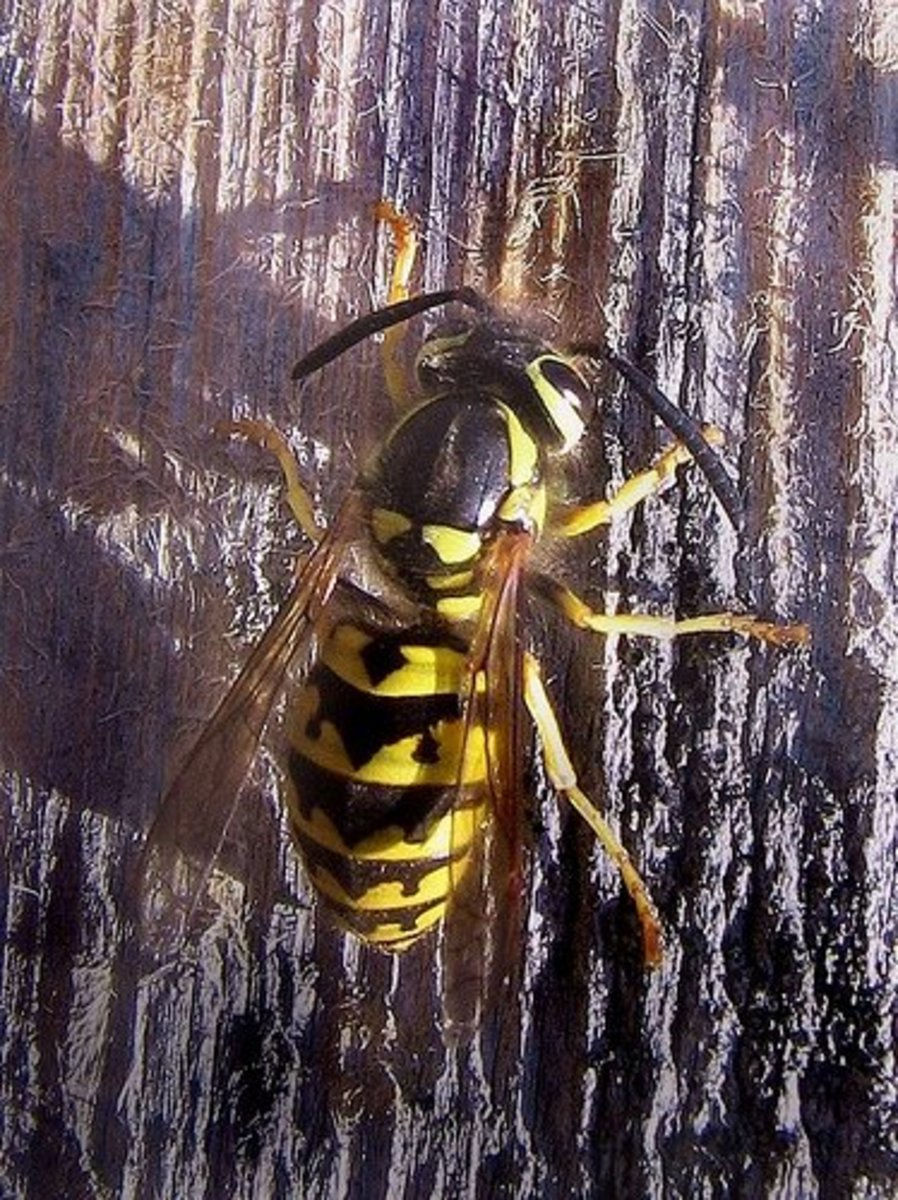 Yellow jacket, by wolfpix