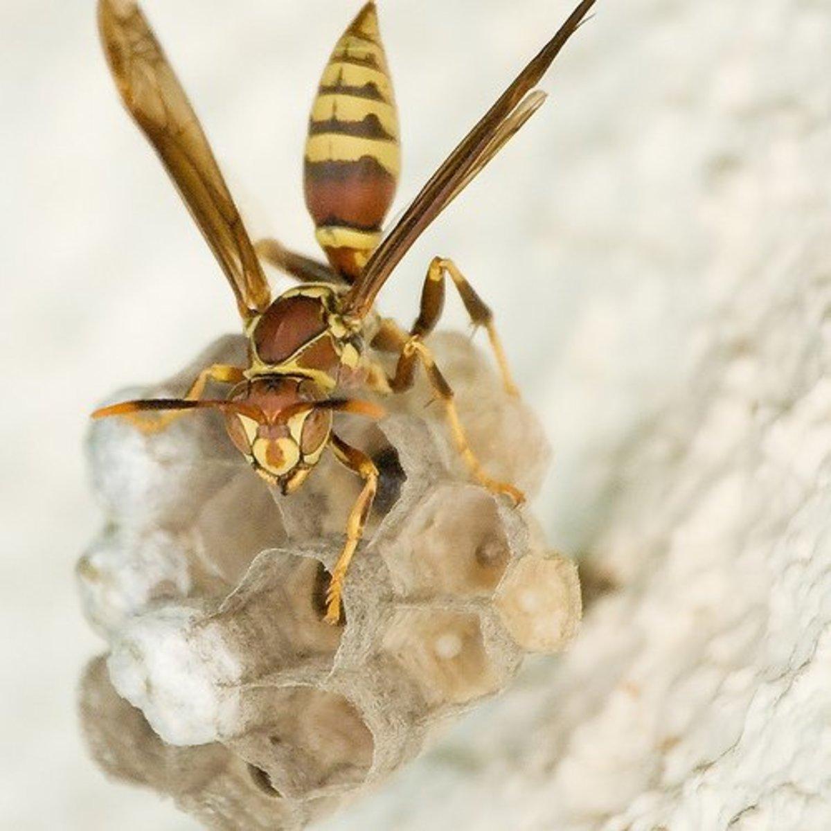 Wasp by RBerteig