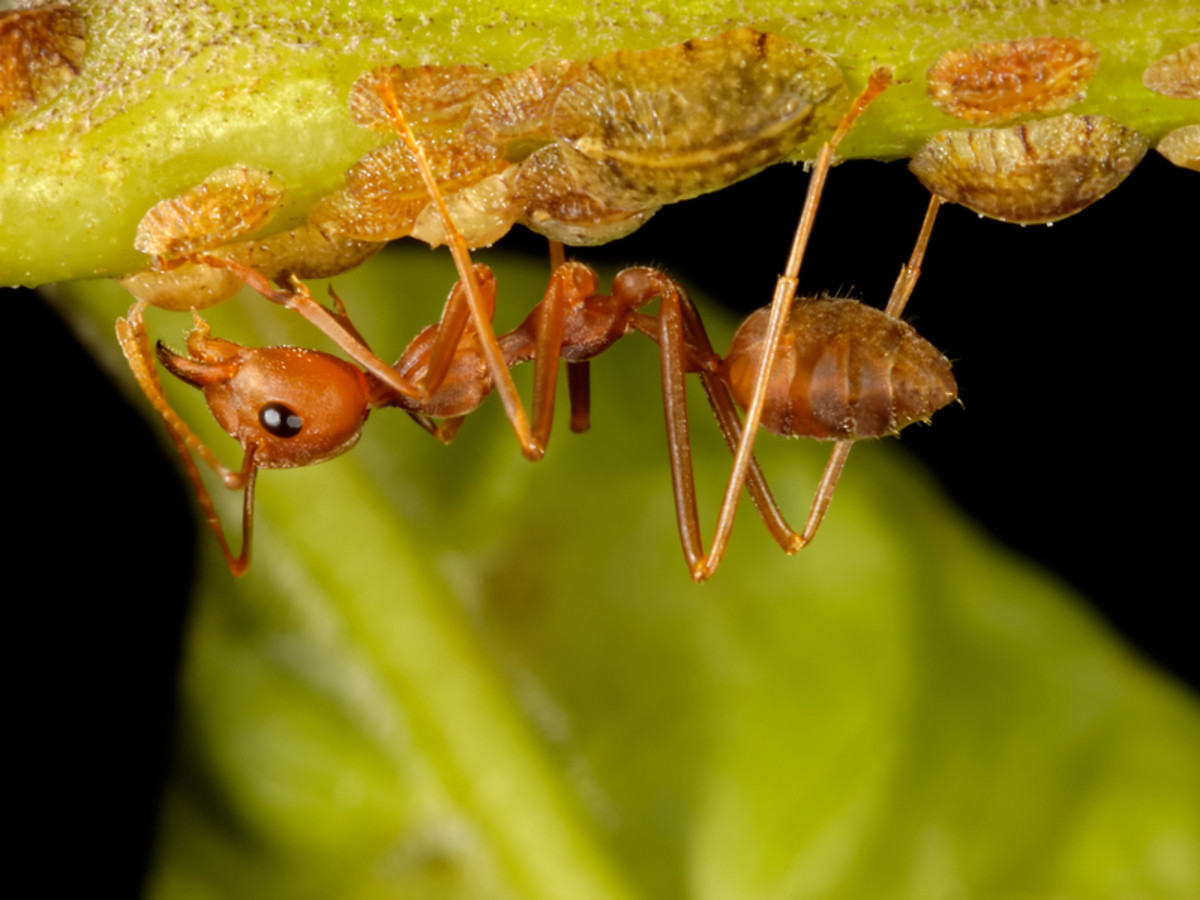 Red ant and scale insects.  Photo by Jeridu/Dreamstime.