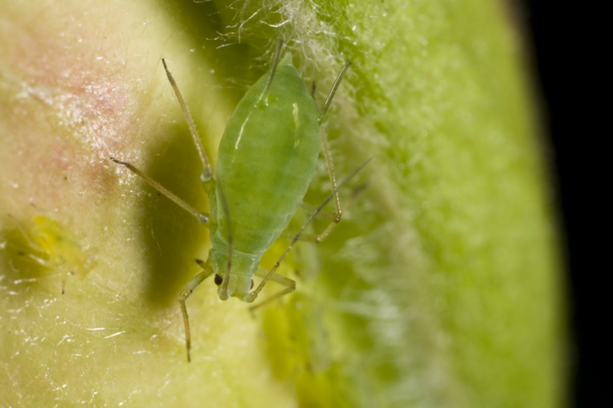 Green Aphid.  Photo by Jscalev/Dreamstime.