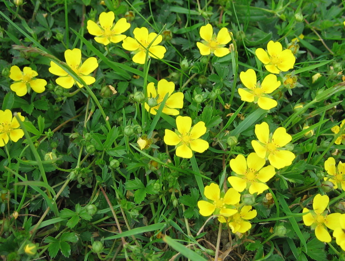 "Cinquefoil means ""five petals."" The plant resembles a strawberry plant and is sometimes known by the name ""barren strawberry."""