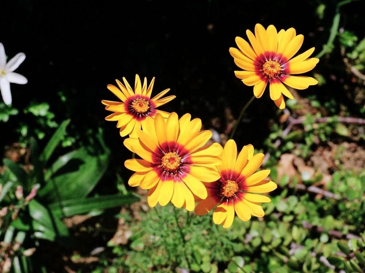 Ursinia calenduliflora