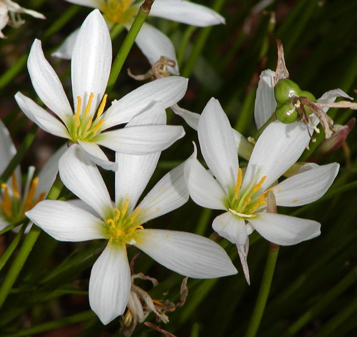 Zephyranthes is also called rain flower and fairy lily.