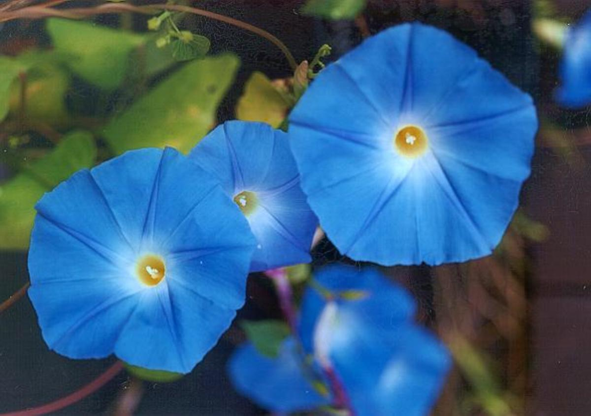 "Ipomea are also called morning glories. This particular color is ""heavenly blue."""