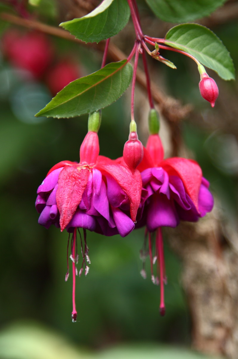 Lady's eardrops, or fuchsia, bloom in a vibrant array of colours from deep purple to red and pale pink.