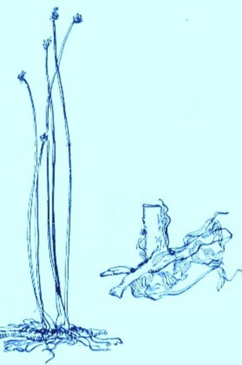 Bulrush (Scirpus validus)~Art by Jerilee Wei