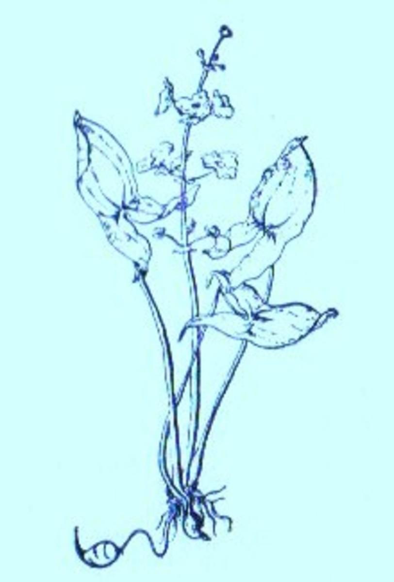 Arrowhead (Sagittria latifolia)~Art by Jerilee Wei