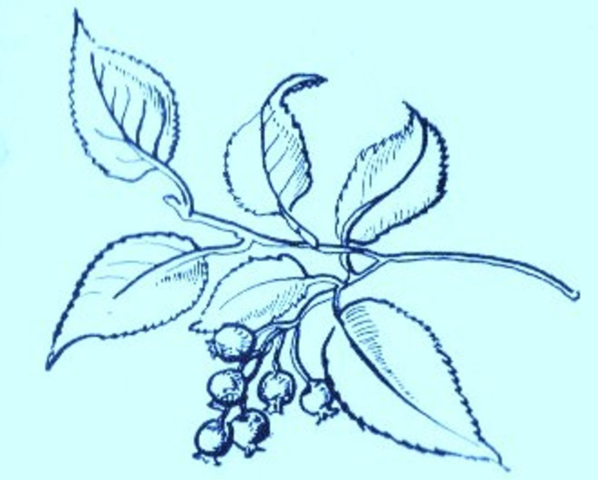Juneberry (Amelanchier canadensis)~ Art by Jerilee Wei