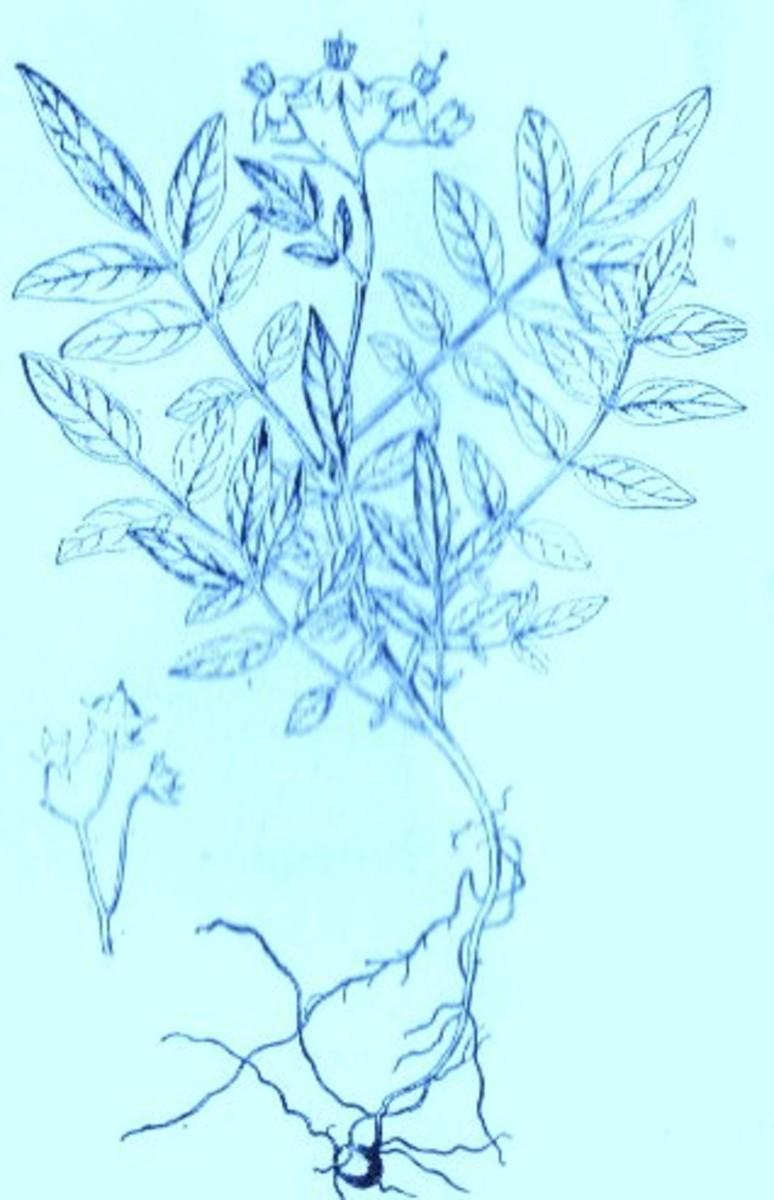 Wild Potato (Solanum Jamesii)~ Art by Jerilee Wei