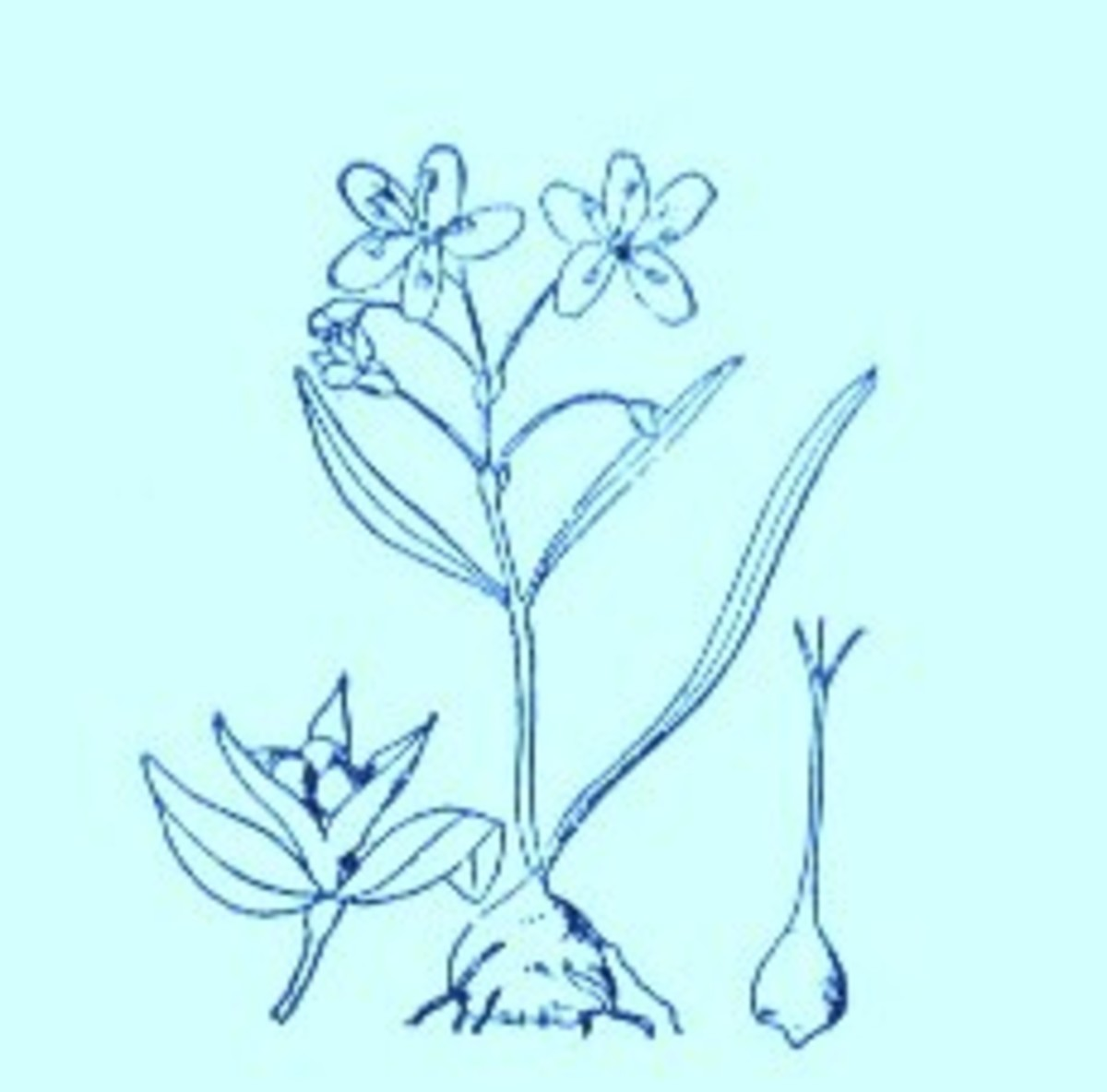 Spring Beauty (Claytonia virginica)~Art by Jerilee Wei