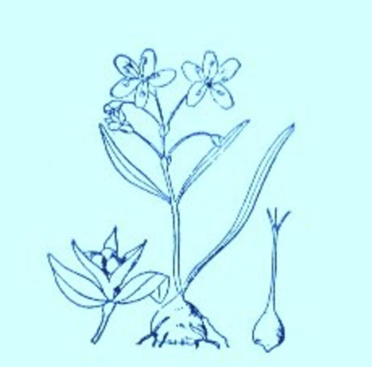 Spring Beauty (Claytonia virginica)~Art by Jerilee Wei