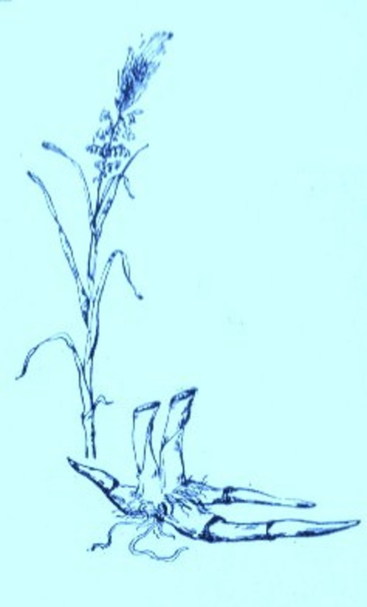 Wild Rice (Zizania aquatica)~ Art by Jerilee Wei