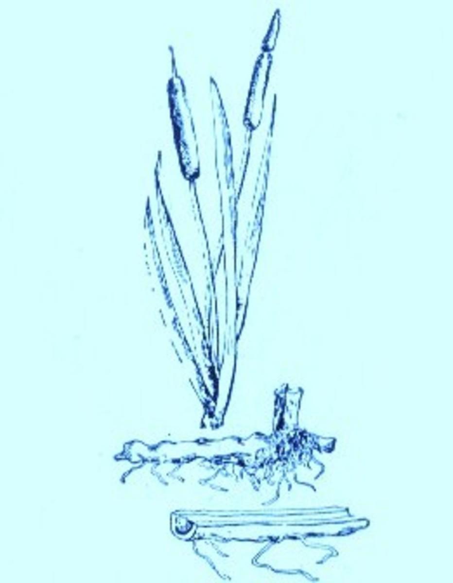 Cattail (Typha latifolia)~Art by Jerilee Wei