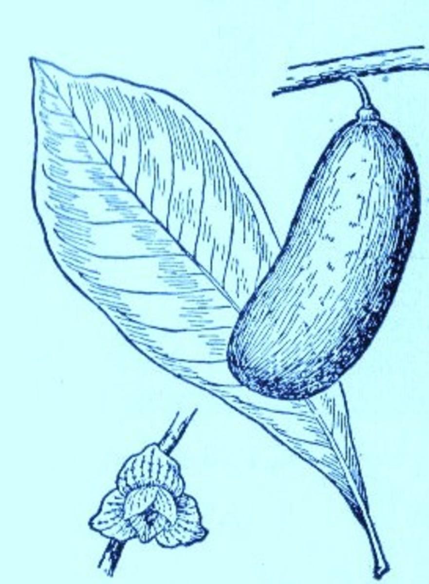 American Papaw (Asimina triloba)~Art by Jerilee Wei