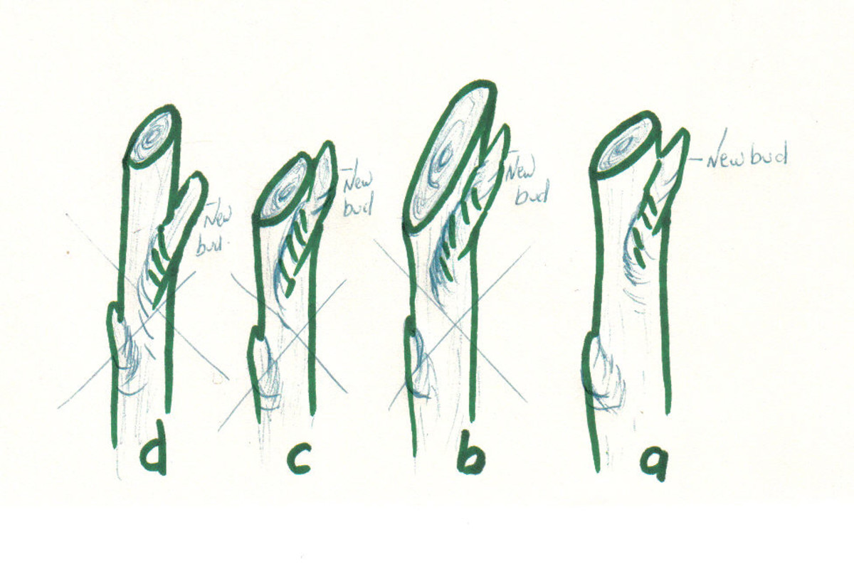 'a' is the right way to clean cut: 1/4 inch above a bud and at a 45° angle.