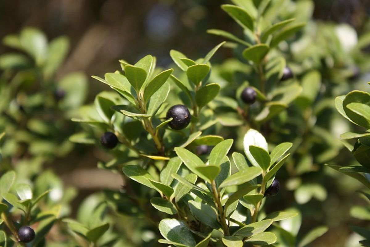 Japanese Holly, Fruit and Foliage