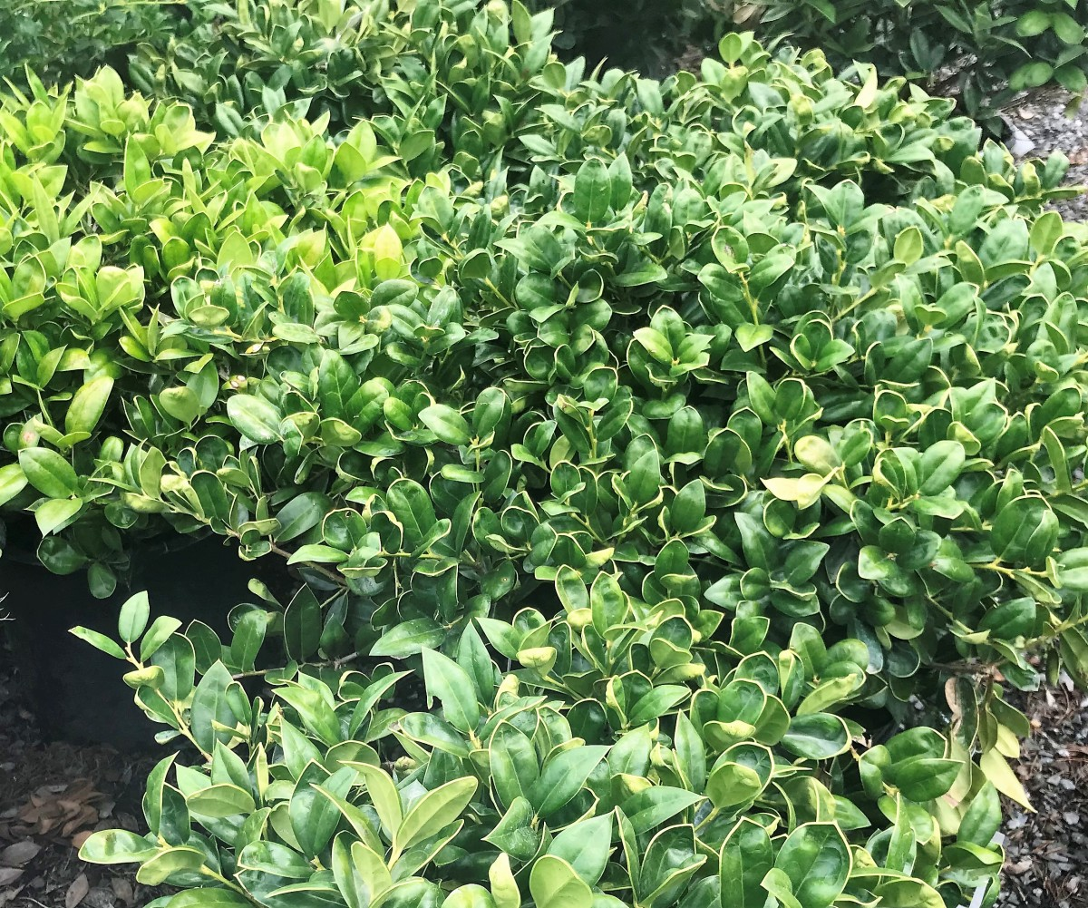 Japanese holly leaves.