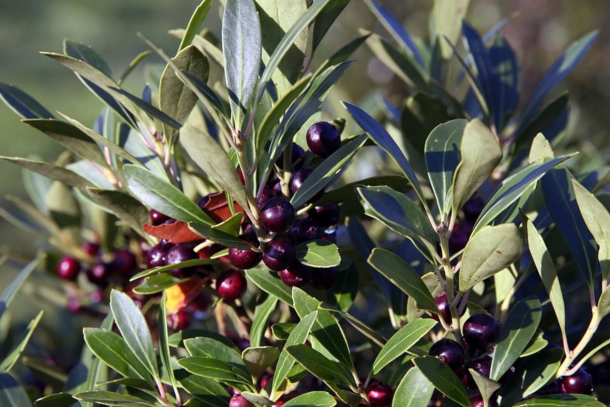 The Inkberry's berries are black and inedible.