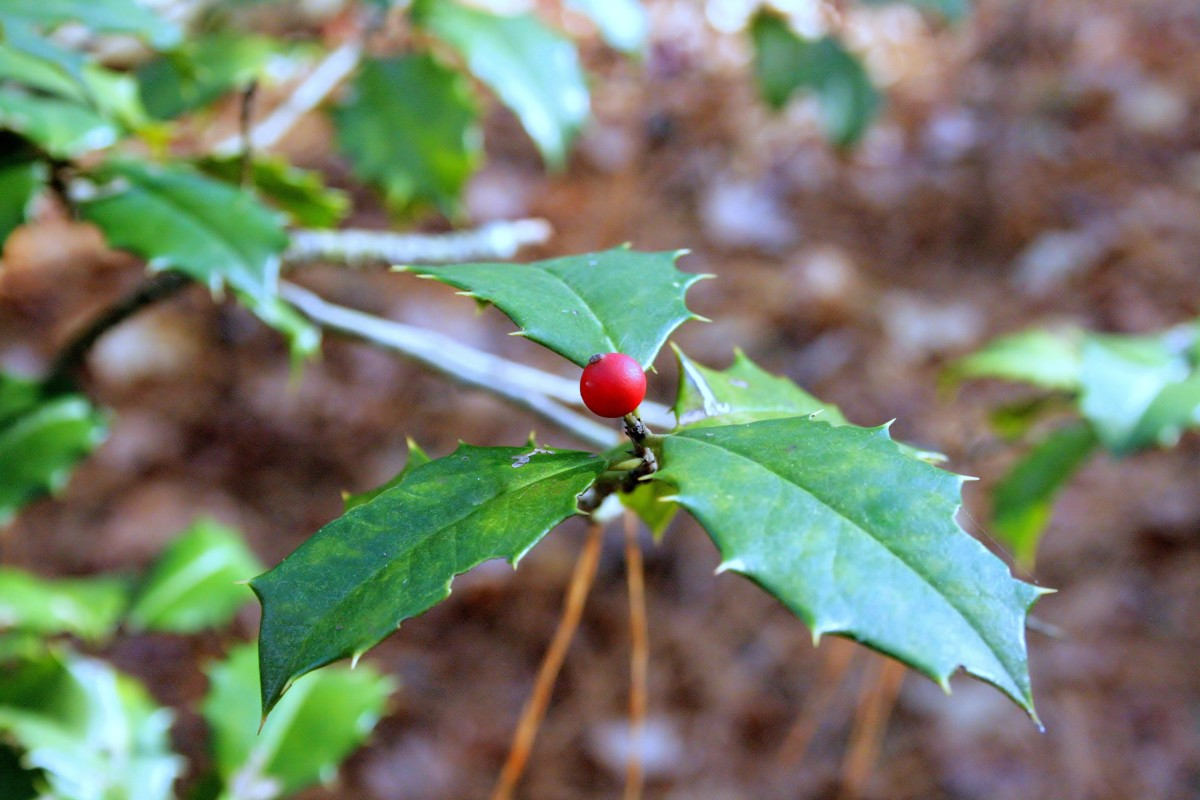 A close-up of the American holly's spiky leaves and red berries.