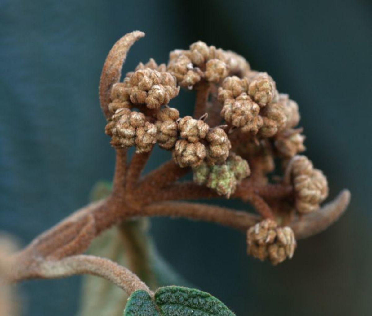 Leatherleaf Arrowwood Flower Bud